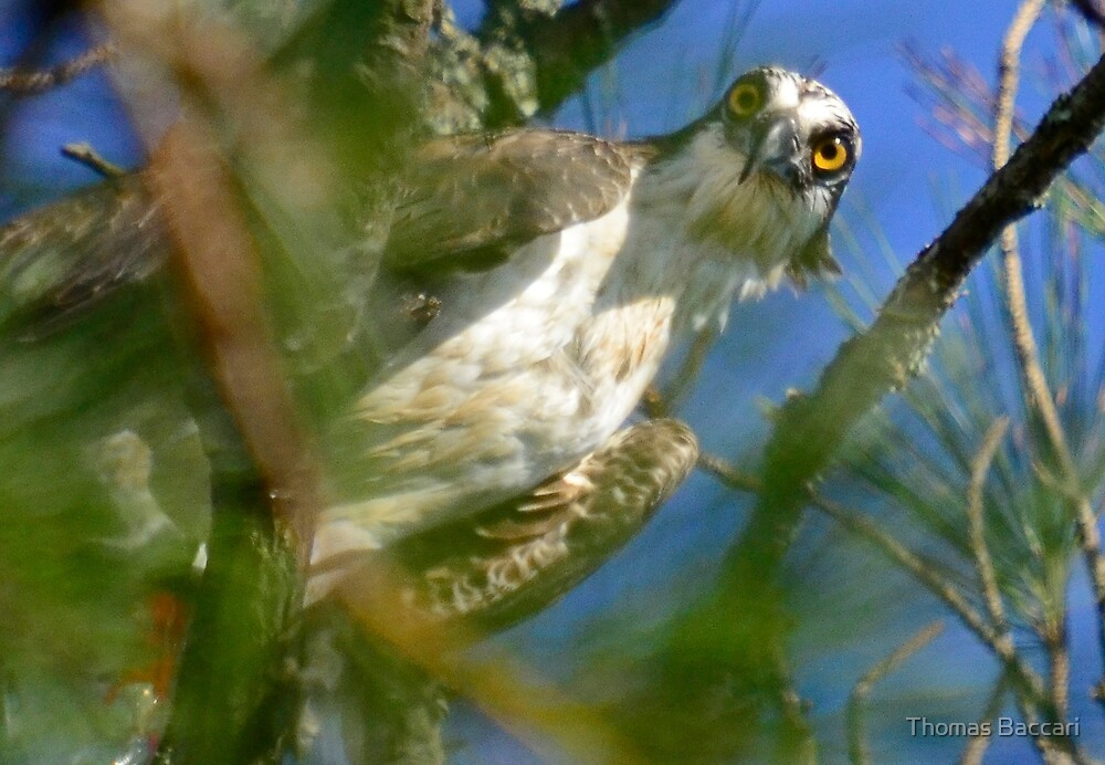 Looking Right at Me (Osprey) by TJ Baccari Photography