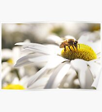 Bumble Bee on a Daisy  Poster