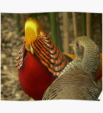 Golden Pheasants Poster