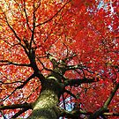 Red Maple 2016 by stormypleasures