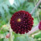 Burgundy popper by MarianBendeth