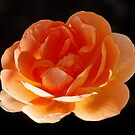 Orange Rose by AnnDixon