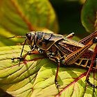 Lubber grasshopper by Manon Boily