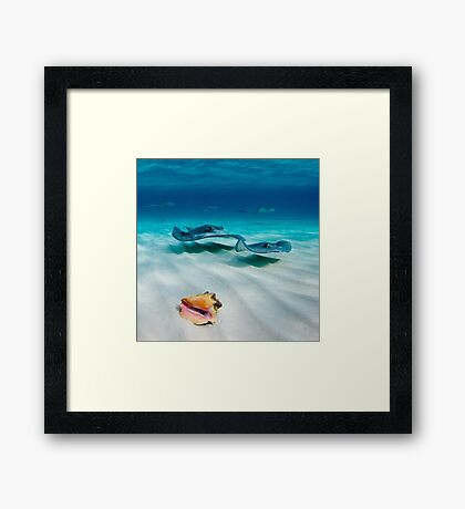 Cayman Stingrays Framed Print