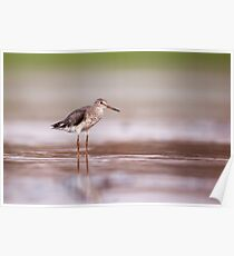 Common redshank (Tringa totanus) hunting for food in shallow water.  Poster