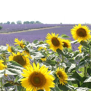 Lavender and sunflowers by frantonino