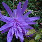 Hot Purple by MarianBendeth