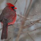Cardinal in the Snow by LisaThomasPhoto