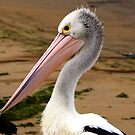 Pelican portrait by geophotographic