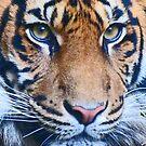 Eyes Of The Sumatran Tiger by Margaret Saheed