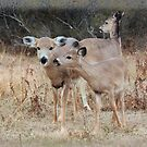 A Whitetails Life by Sandy O'Toole