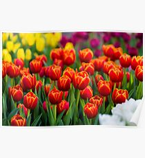 Red White Yellow Tulips Poster