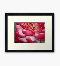 Folding Pink Rose Framed Print