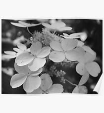 Hydrangeas Black and White Poster