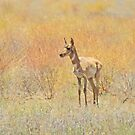 Pronghorn Babe by Sandy O'Toole