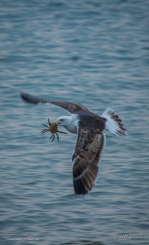 Seagull And Crab | Greenport, New York by © Sophie W. Smith