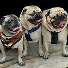 Three Little Pugs! by Heather Friedman