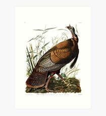 Wild Turkey -  John James Audubon Art Print