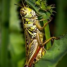 Grasshopper by RandyHume