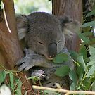 Napping Koala Bear by dangerouslyclos