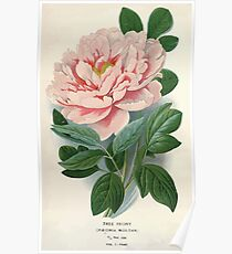 Favourite flowers of garden and greenhouse Edward Step 1896 1897 Volume 1 0003 Tree Peony Poster