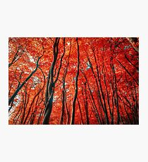 Red Forest of Sunlight Photographic Print