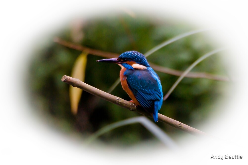 Eurasian Kingfisher by Andy Beattie