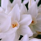 Family of White Jonquils by Melissa Holland