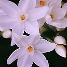 Motley Crew of White Jonquils by Melissa Holland