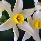 Row of White Jonquils by Melissa Holland