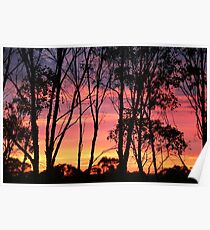 Eucalypt Forest Dawn Poster