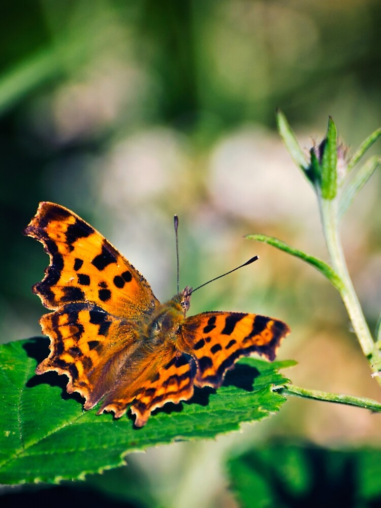 Comma Butterfly by InspiraImage