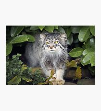 Wild Cats - Pallas Cat Photographic Print