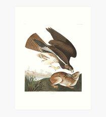 Swainson's Hawk - John James Audubon Art Print