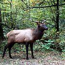 Bull Elk by Asoka