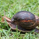 Giant garden snail by richeriley