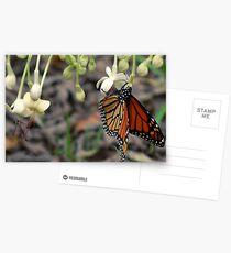 Monarch on a butterfly bush Postcards