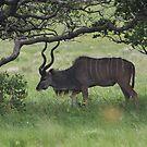 Browsing kudu bull by richeriley
