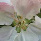 Apple Blossom by KMorral
