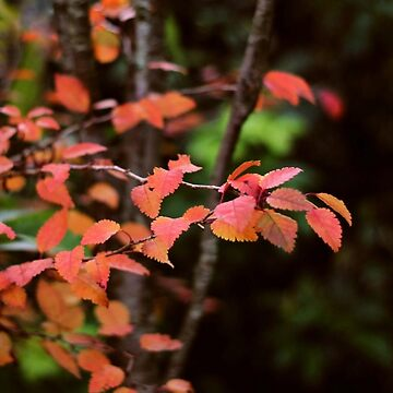 Red and gold - autumn leaves by woodentop