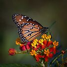 Queen on tropical milkweed  by Ruth  Jolly