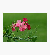 Sweet Peas in Spring Photographic Print