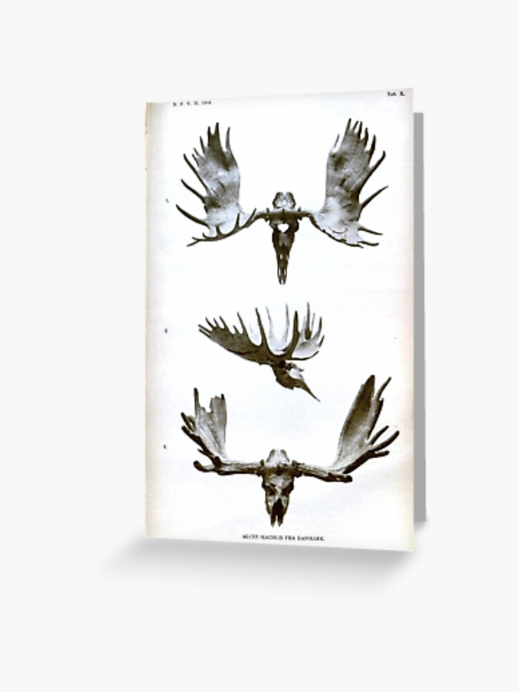 Vintage Moose Antlers 1904 Greeting Card By Arcane Snake Redbubble