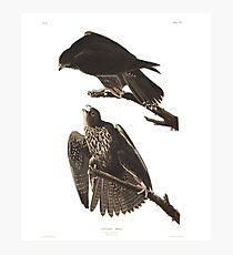 Gyrfalcon - John James Audubon Photographic Print