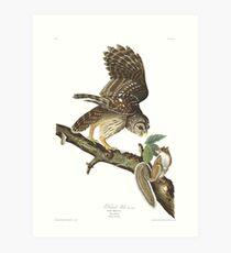 Barred Owl - John James Audubon Art Print