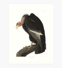 California Condor - John James Audubon  Art Print