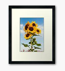 Sunflower Cluster Framed Print
