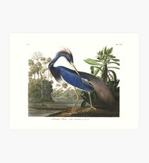 Tricolored Heron - John James Audubon Art Print