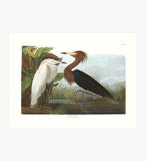 Reddish Egret - John James Audubon  Art Print