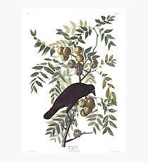 Crow - John James Audubon Photographic Print